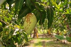 Повреждение плодоовощ манго от thrip Стоковые Фотографии RF