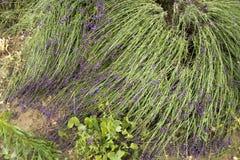 Поврежденная лаванда в саде Стоковое фото RF