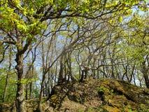 Поврежденные дубы с свежим зеленым цветом весной Стоковая Фотография RF