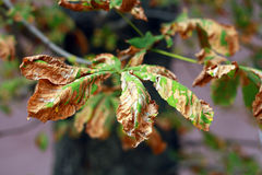 Поврежденные листья каштана лошади на вале Стоковые Фотографии RF