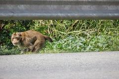 Поврежденный бег обезьяны вдоль бортового пути стоковые изображения