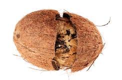 Поврежденный кокос изолированный на белизне Стоковая Фотография RF