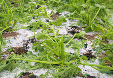 поврежденный hailstorm gourd стоковое фото
