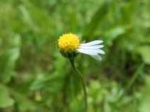 Повреженный цветок маргаритки Стоковое Изображение RF