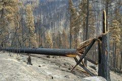 Поврежденные деревья от лесного пожара стоковые фотографии rf
