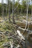 Поврежденные леса - Аргентина - Ushuaia - Огненная Земля стоковое изображение rf