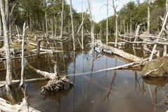 Поврежденные леса - Аргентина - Ushuaia - Огненная Земля стоковое фото rf