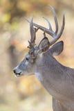 Поврежденный рост Antlers на самце оленя Whitetail Стоковая Фотография