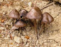 Поганковые гриба, растя на каменистой земле В еде вы не можете использовать Стоковые Изображения