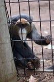 поглощенный портрет обезьяны Стоковая Фотография