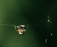 поглощенный спайдер насекомого Стоковые Фото