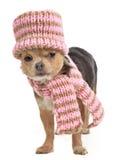 погода чихуахуа одетьнная холодом смешно стоковые фотографии rf