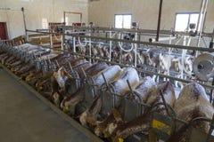 Поголовье козы, есть и доя Стоковая Фотография