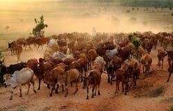 Поголовье на Вьетнаме, коровах табуна ковбоя на луге Стоковые Изображения RF