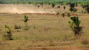 Поголовье на Вьетнаме, коровах табуна ковбоя на луге Стоковые Фотографии RF