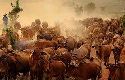 Поголовье на Вьетнаме, коровах табуна ковбоя на луге Стоковые Фото