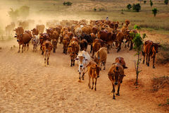 Поголовье на Вьетнаме, коровах табуна ковбоя на луге Стоковое фото RF