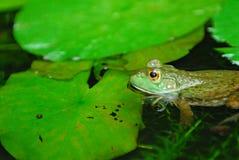 погруженная в воду лягушка Стоковые Изображения