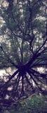 Погруженное в воду дерево вербы Стоковое Фото