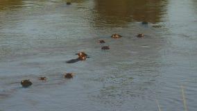 Погруженные в воду гиппопотамы в реке Mara в Кении акции видеоматериалы
