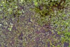 Погруженные в воду клевера Стоковые Изображения RF