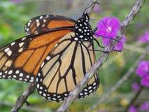 Подавать бабочки монарха стоковое изображение
