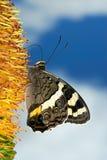 подавать бабочки Стоковое Изображение
