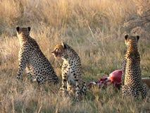 подавать гепардов Стоковое Фото