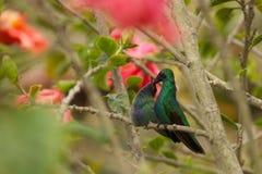 подавать ее детеныши мати hummingbird Стоковая Фотография