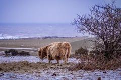 Подавать коровы гористой местности - сцена снега Стоковые Изображения RF
