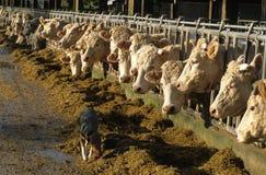подавать коров стоковые фотографии rf