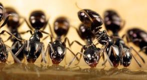 Подавать муравеев Стоковое Фото