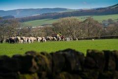 Подавать овцы стоковая фотография