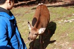 Подавать оленей стоя и ждать от мальчика на городе Nara Турист может закрыть и подать к оленям стоковое фото