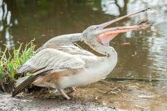 Подавать пеликана Стоковые Фото