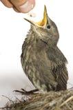 подавать птицы голодный немного Стоковые Фото