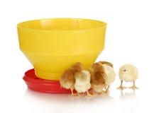 подавать цыплят Стоковые Фотографии RF