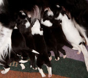 Подавать щенят Коллиы границы Стоковые Фото