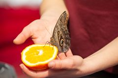 Подавать memnon caligo бабочки сыча с свежим апельсином Стоковая Фотография RF