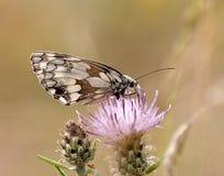 Подавая бабочка Стоковые Изображения RF