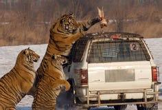 подавая время тигра Стоковая Фотография RF