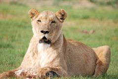 подавая женский львев Стоковое Фото