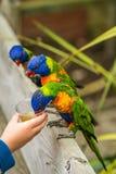 Подавая красочная радуга Lorikeets попугая стоковое изображение rf