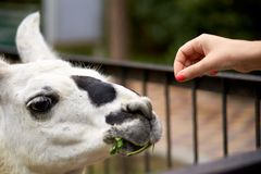 Подавая лама вручную Стоковое Фото