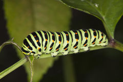 подавая личинки shallowtail papilio machaon Стоковое Изображение RF