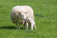 подавая мать овечки Стоковая Фотография