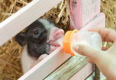 Подавая миниатюрные свиньи стоковая фотография