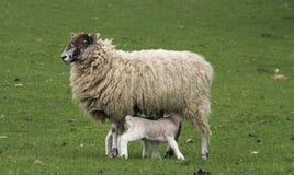 подавая овечки Стоковое Изображение RF