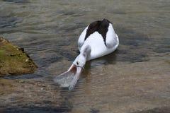 подавая пеликан стоковая фотография rf