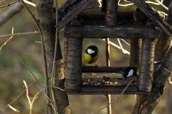 Подавая птицы зимы концепция: Семена подсолнуха большого Parus синиц главные получая и гайки кедра на деревянном фидере птицы стоковые фотографии rf